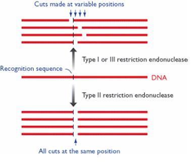 Gambar 1. Pemotongan molekul DNA dengan enzim restriksi endonuklease tipe I, II, dan III